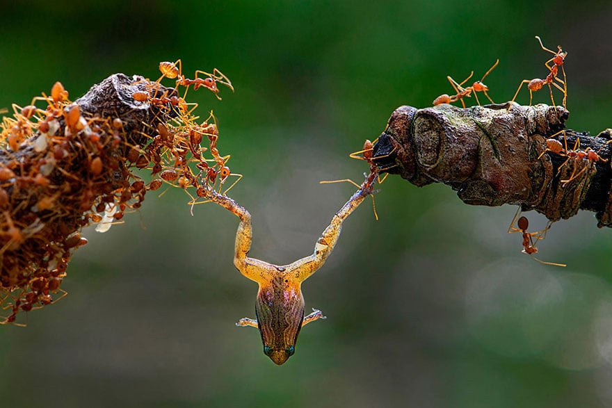 муравьи поймали лягушку