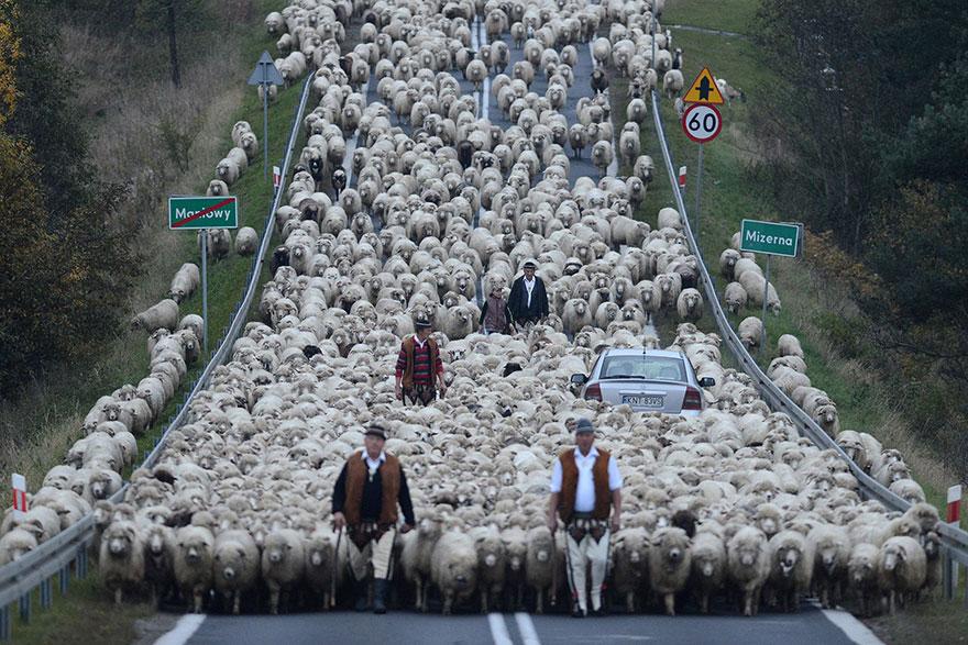 отара овец идет по трассе рядом с машинами