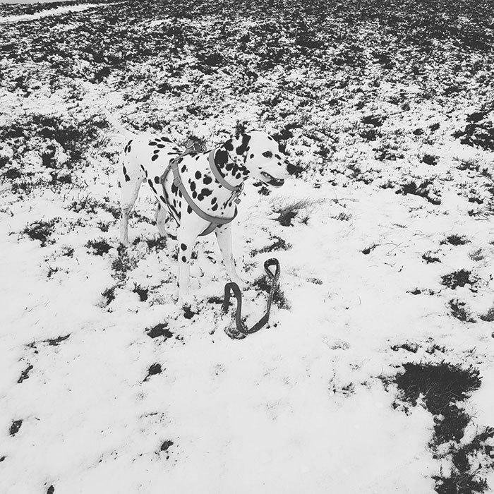 далматинец на снегу