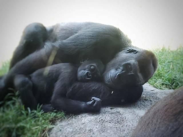 мама горилла и её ребенок