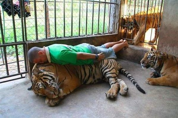 мужчина спит на тигре