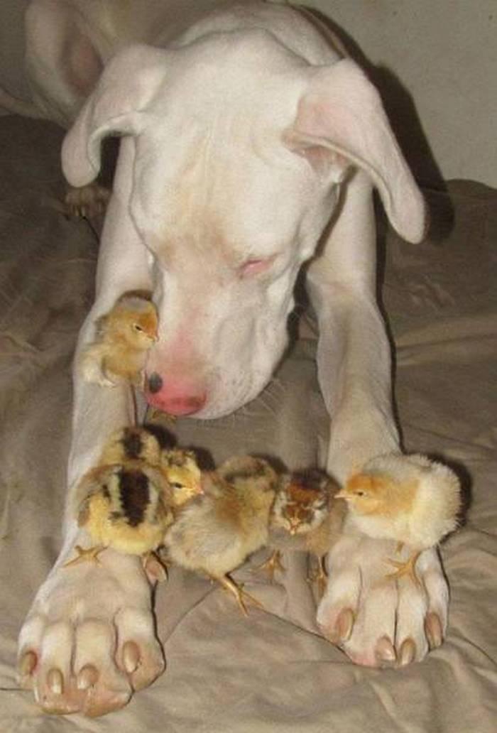 дружба собак и цыплят