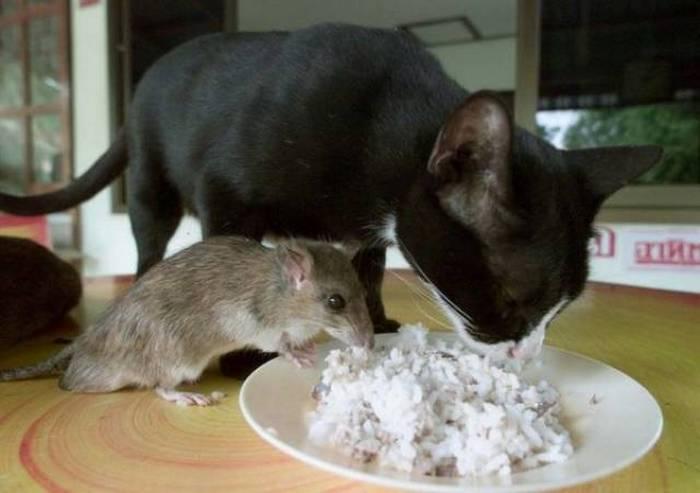 дружба кота и крысы