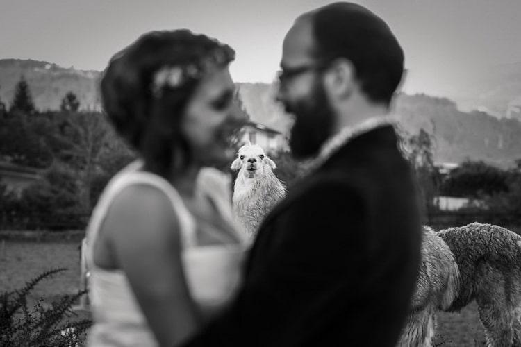 на невесту и жениха смотрит овца
