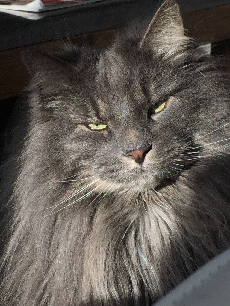 пушистый серый кот с зелеными глазами