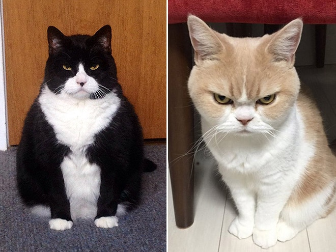 черно-белый и рыже-белый кот