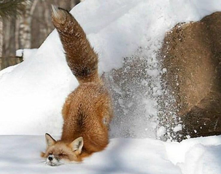 лисица упала в снег