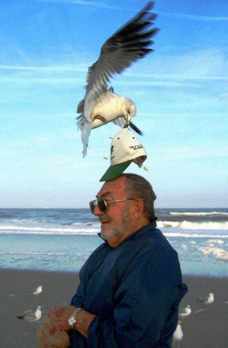 жадная чайка