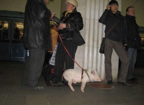 свинья на поводке