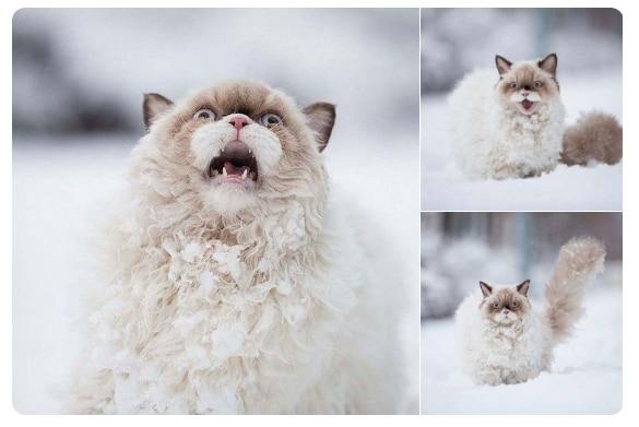 пушистый кот орет в снегу