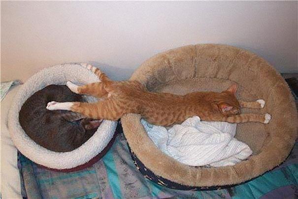 Кот на двух лежанках
