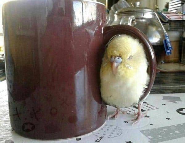 попугай сидит на чашке