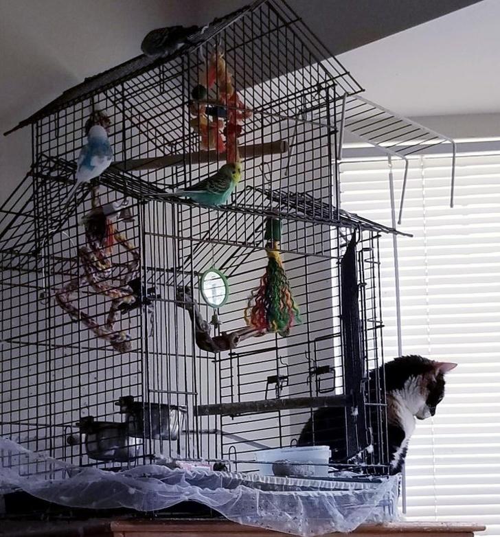 клетка с попугаями и кот