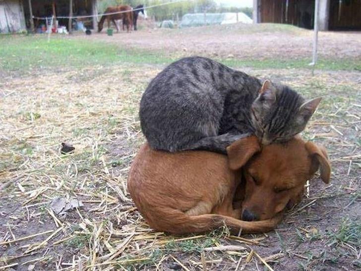 серый кот спит на рыжей собаке