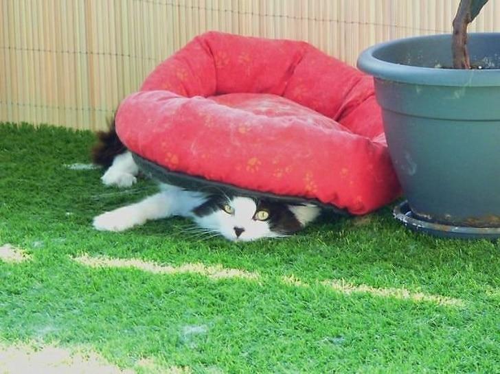 черно-белый кот под подушкой