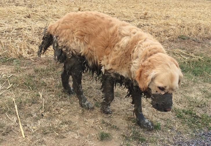 грязный пес