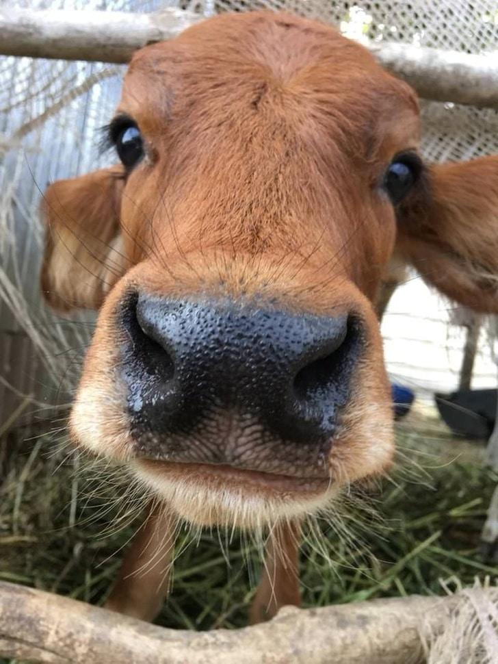 милый теленок