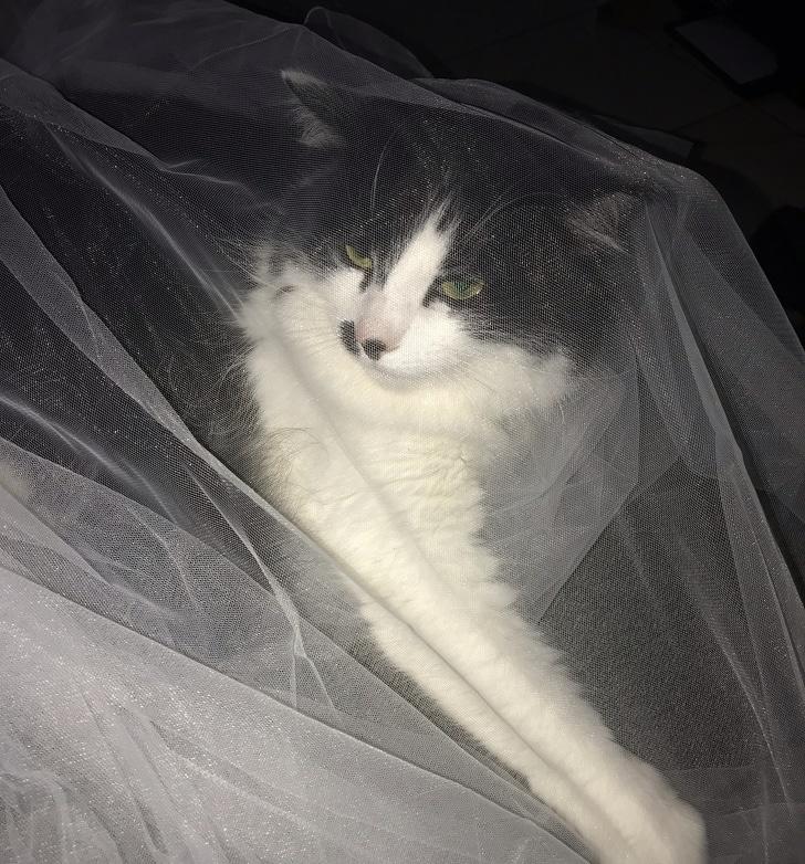 свадебный кот