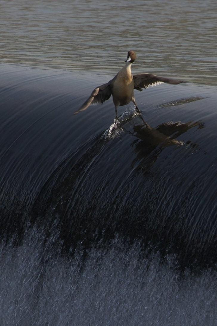 утка на волне