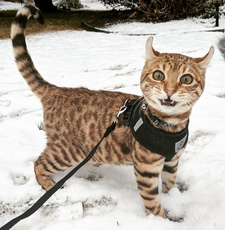 полосатый кот в снегу на поводке