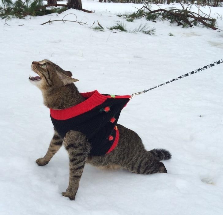 полосатый кот на поводке