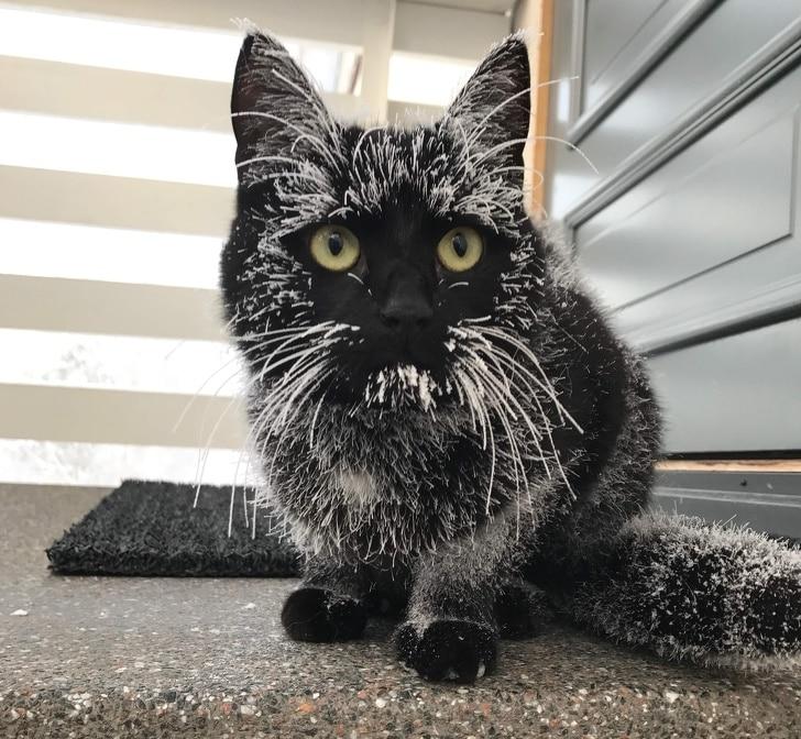 черный кот в инее