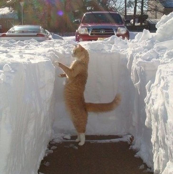 рыжий кот выглядывает из снега