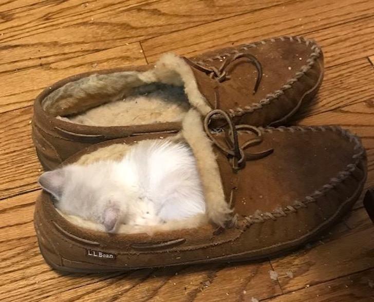котенок спит в обуви