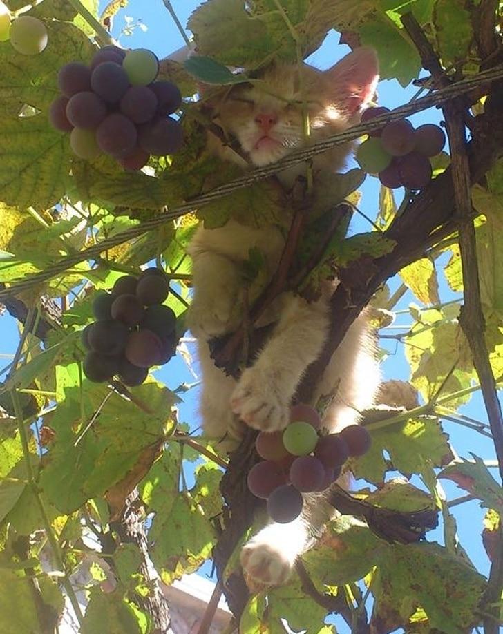 кот спит на винограднике