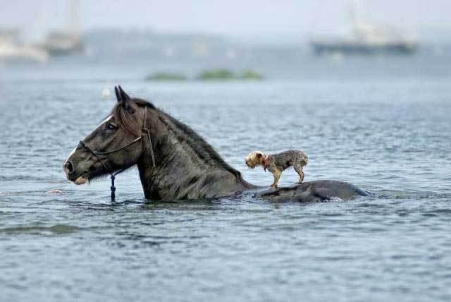 лошадь в воде с собакой на спине