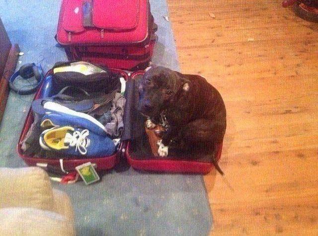 собака сидит в чемодане