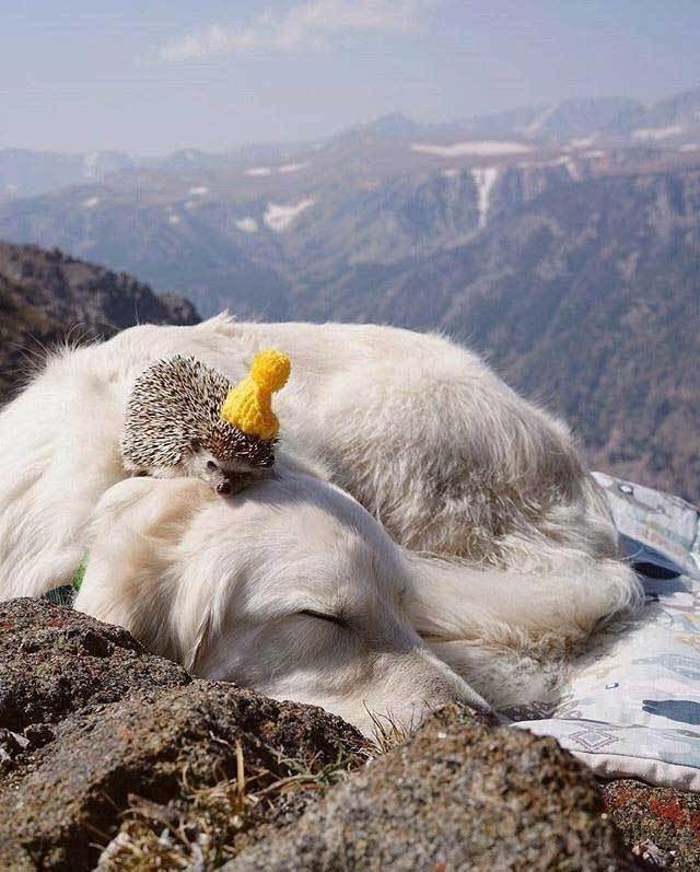 ежик спит на собаке