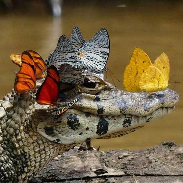 бабочки сидят на крокодиле