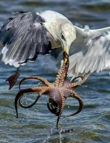 чайка и осьминог