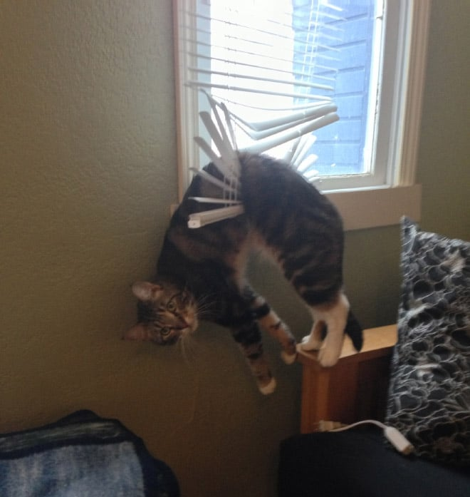полосатый кот висит на жалюзи