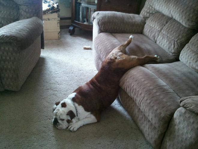 собака висит с дивана