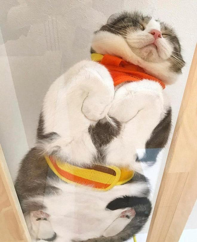 серо-белый кот спит