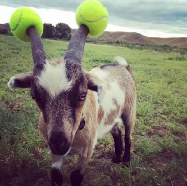 коза с теннисными мячиками на рогах