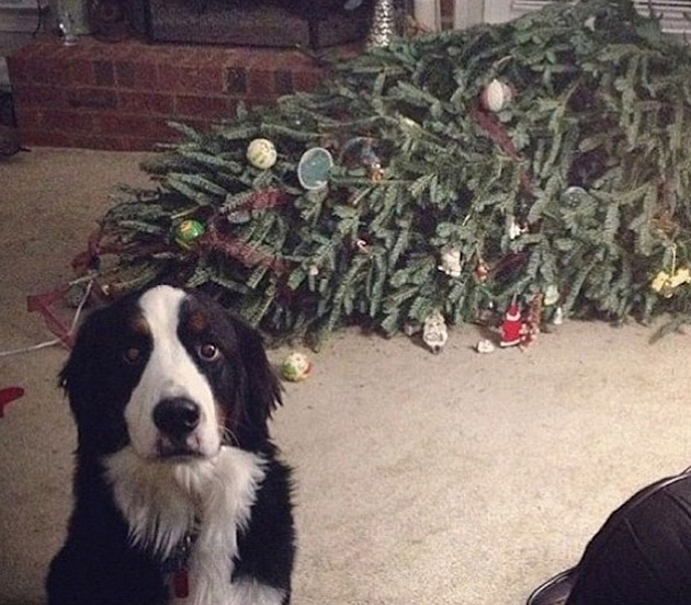 собака сидит рядом с перевернутой елкой
