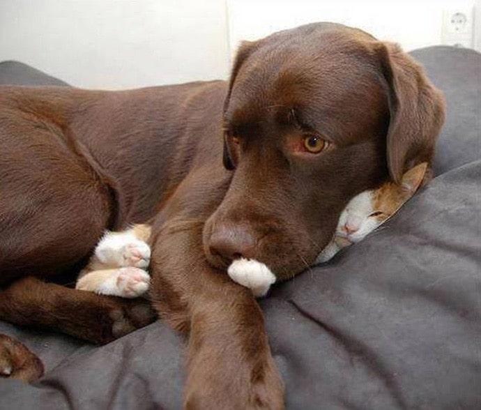 собака лежит на коте