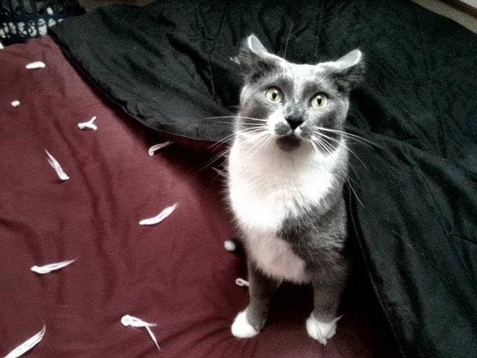 серо-белый кот и перья