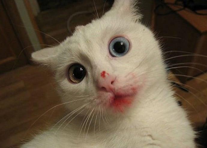 белый кот в красной помаде
