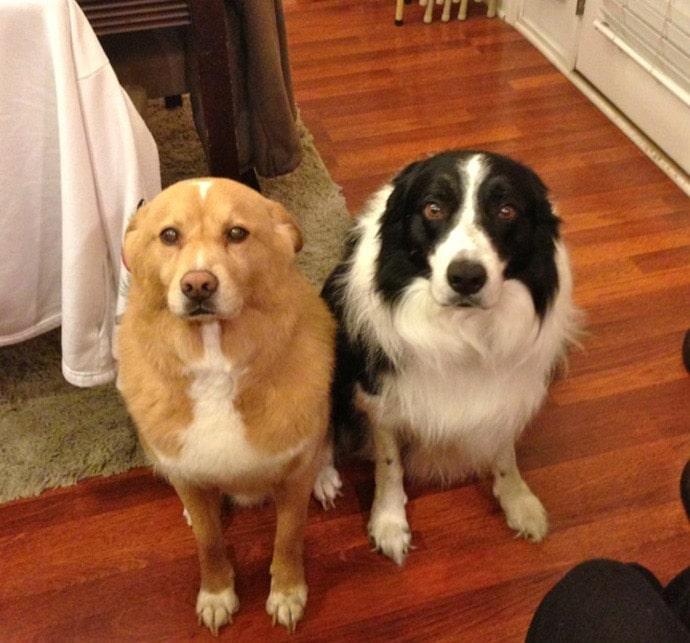 рыжая и черно-белая собака