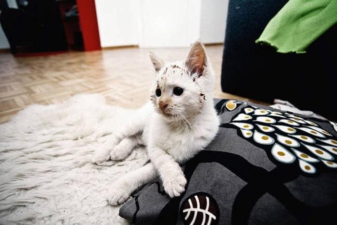 белый кот с шоколадом на морде