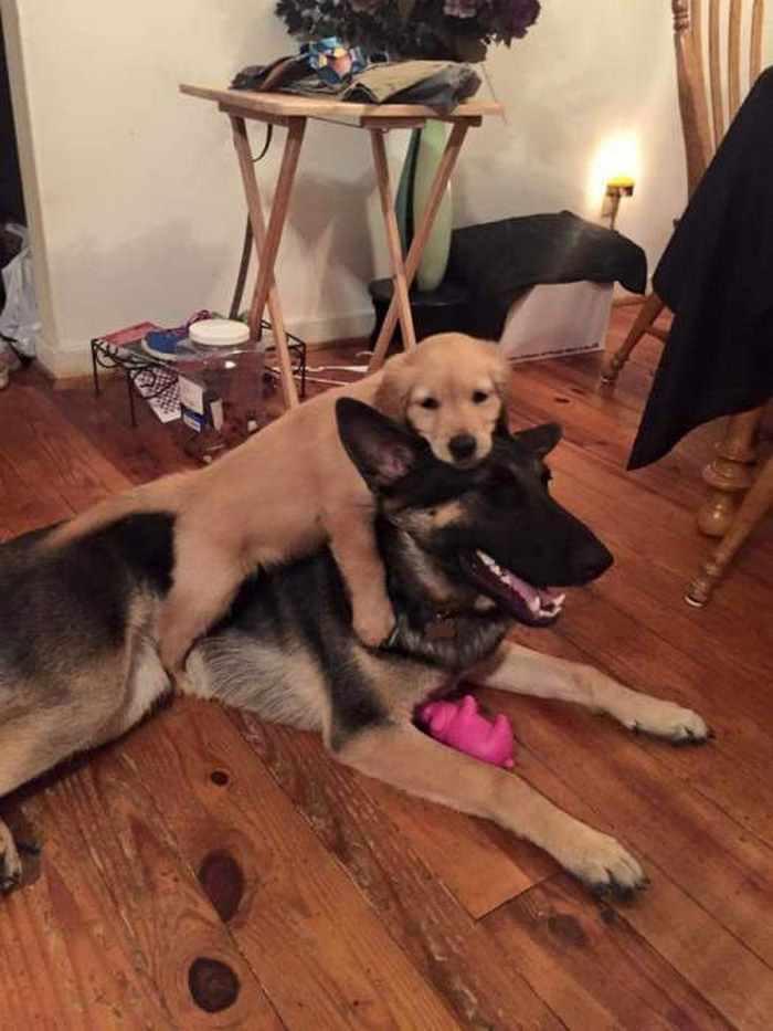 щенок обнимает пса