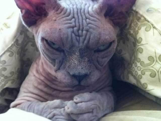 кот сфинкс рис 2