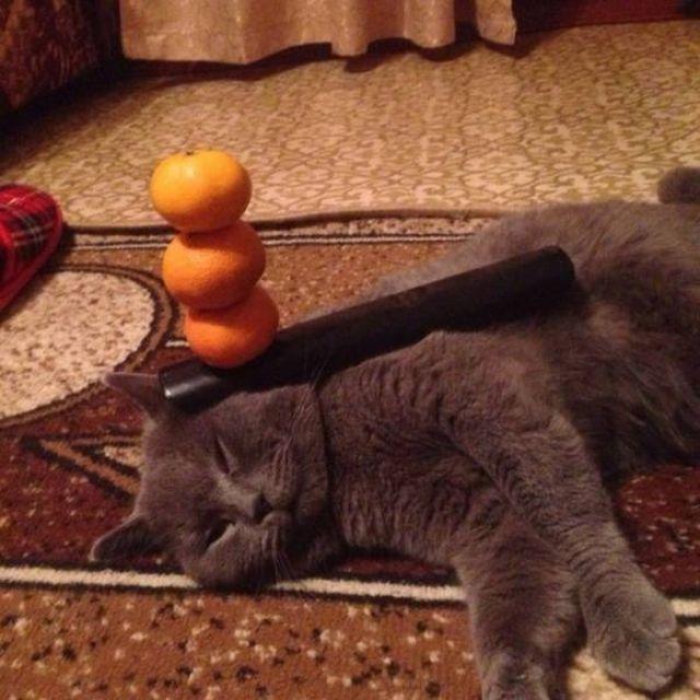 серый кот с мандаринами на голове