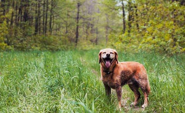 рыжая собака в траве
