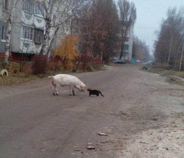 свинья и кошка на улице