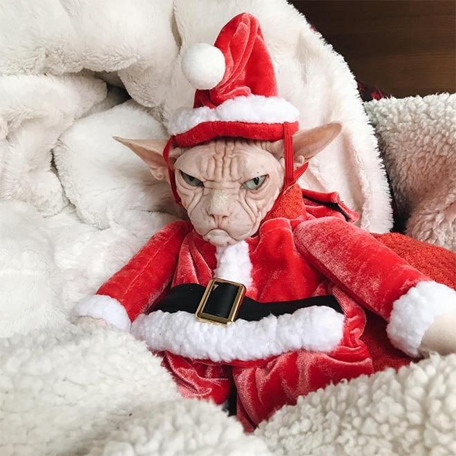 лысый кот в костюме Санты